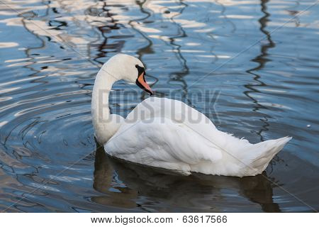 Beautiful swan and ducks on the lake in Mikolajki.Polonia.
