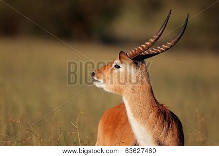 Portrait of a male red lechwe antelope (Kobus leche), southern Africa