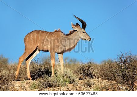 Young male kudu antelope (Tragelaphus strepsiceros) against a blue sky, Kalahari desert, South Africa