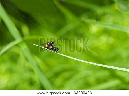 Flies Mateing In Green Background