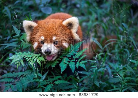 Wild Red Panda In China