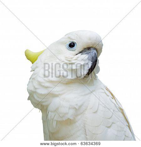 Sulphur-crested Cockatoo Isolated