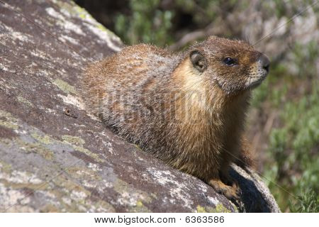 Yellow-bellied marmot watching