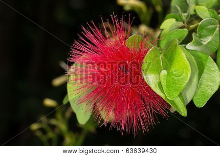 Red Flower Brownea Grandiceps Also Known As Rose Of Venezuella