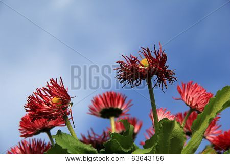 Gorgeous petals of African daisies