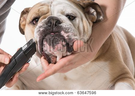 english bulldog getting groomed isolated on white