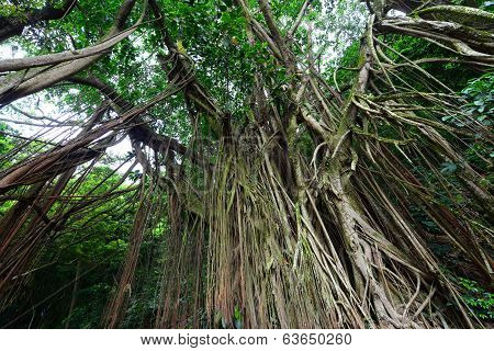 Indian Rubber Tree