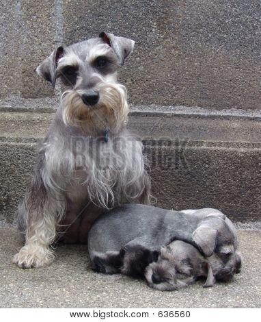 Schnauzer Family