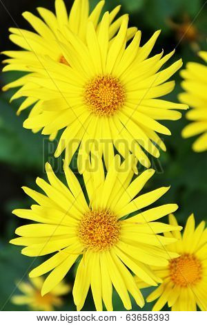 Summer Yellow Flowers Doronicum. Ornamental Plant In The Asteraceae Family