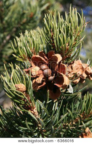 Pinyon Pine (pinus Edulis) Cone