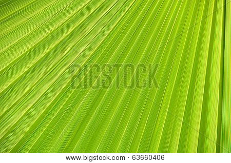 Palm Leaf Close-up, Background.