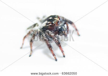 Spider. Close Up.