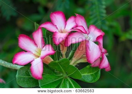 Desert Rose Flower, Plants With Beautiful Colorful Flowers.