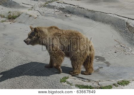 Brown bear out a turn
