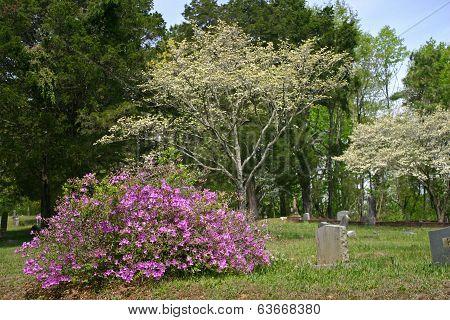 Azalea & Dogwoods in Cemetery