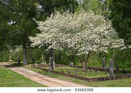 Dogwood in Cemetery