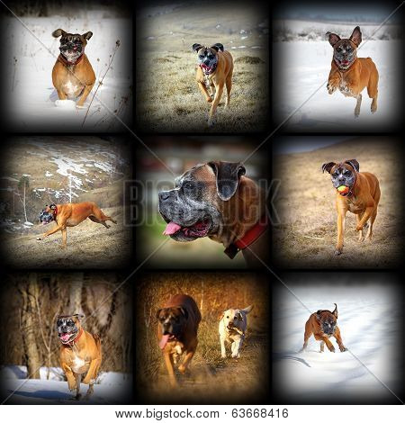 Happy Boxer Breed Images Collection