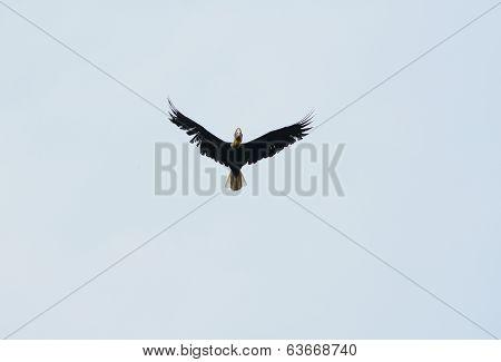 Male Wreathed Hornbill (aceros Undulatus)