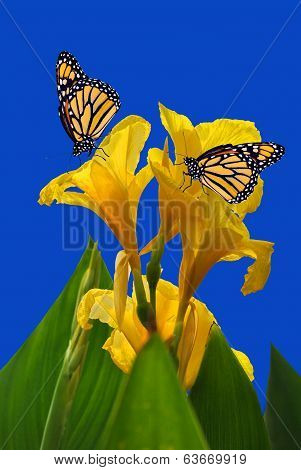 Canna King Midas with 2 Monarch butterflies