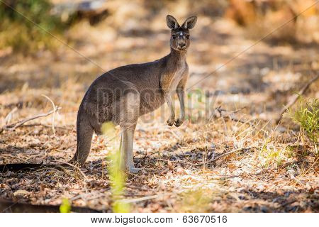 Standing kangaroo in the wild