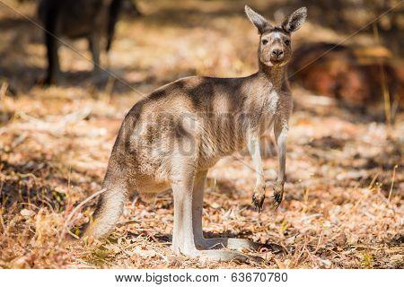Close up of kangaroo in the wild