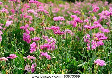 Pink Dianthus Flower (dianthus Chinensis)