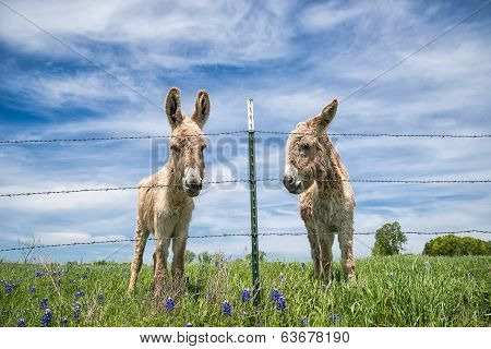 Two Donkeys On Spring Pasture