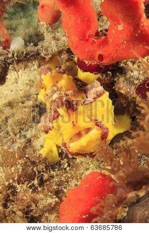 Clown Frogfish (Anglerfish)
