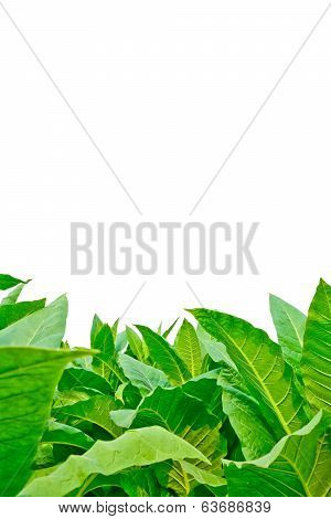 Green Tobacco Field On White Background
