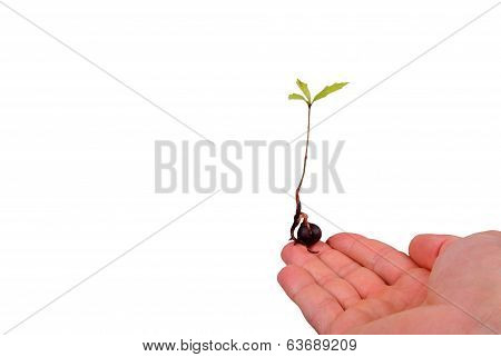 Tree Seedling On Finger