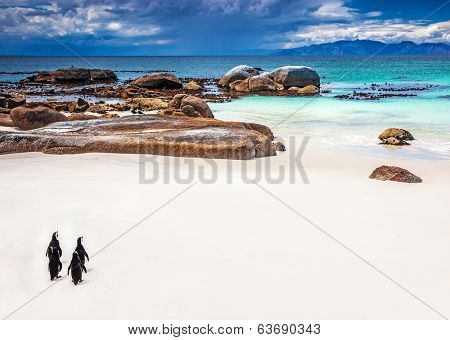 Wild South African penguins, little group of Jackass Penguins walking along Boulders beach in Simons Town, travel and tourism concept