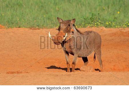 A lone warthog (Phacochoerus africanus), South Africa