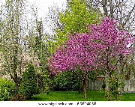 Blooming Red Bud Trees