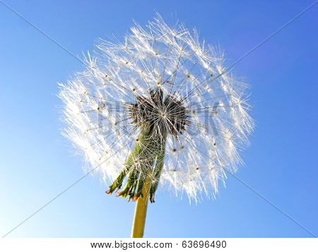 dandelion on background sky