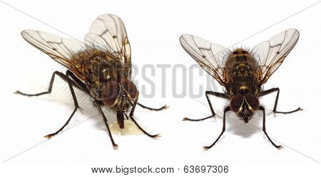 House Flies On White