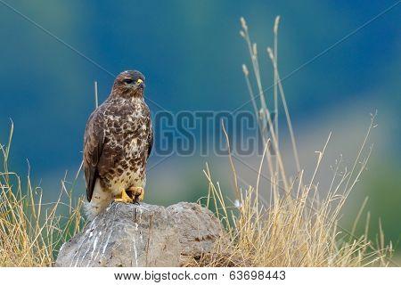 common buzzard in natural habitat (buteo buteo)