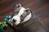 foto of toy dog  - White and Grey Pitbull laying down with colored toy - JPG