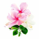stock photo of hibiscus  - Colorful pink and white Hibiscus flower - JPG