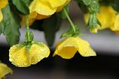 picture of planters  - Early morning dew on yellow petals of flowers in hanging planter. ** Note: Shallow depth of field - JPG