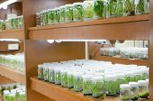 picture of vitro  - plant tissue culture in the laboratory - JPG