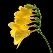 Delicate freesia flower on black background