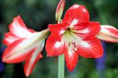 stock photo of six-petaled  - red and white six petal flower at the Gardens - JPG