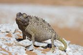 pic of desert animal  - Close up of a desert chameleon Namib desert Africa - JPG