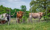 stock photo of texas-longhorn  - Texas longhorn cattle grazing on pasture with fence - JPG