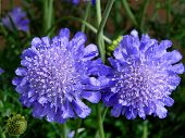foto of brighten  - Lavender colored Pin Cushion Flowers brighten a shady area in the garden - JPG