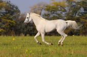image of white horse  - beautiful white arabian horse running gallop on the field - JPG