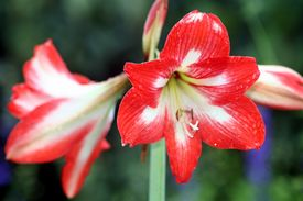 image of six-petaled  - red and white six petal flower at the Gardens - JPG