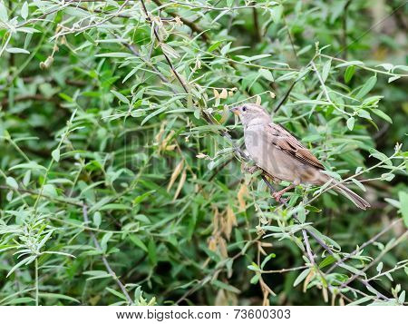 Female House Sparrow Perched On A Tree Branch