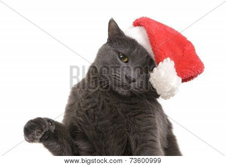 Christmas Cat - Gray Cat Santa, Christmas Pet In The Santa Hat