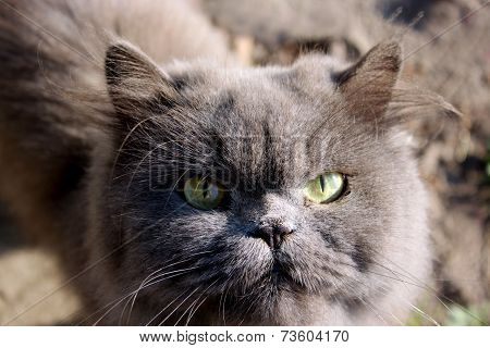 Muzzle Of Nice Persian Cat